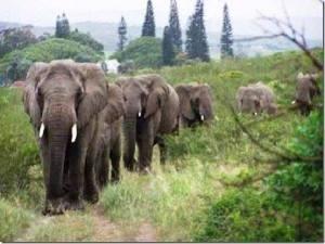 Elephants DrDyer