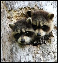 2 racoons